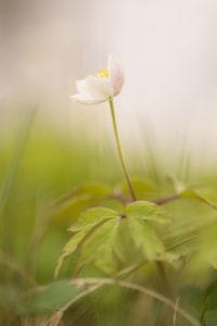 Windflower, Wood Anemone, Anemone nemorosa