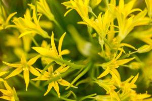 Close-up of Gagea minima