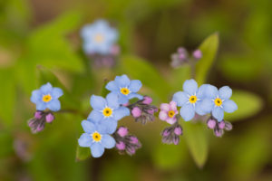 Close-up of Forget-me-not flowers on nature  green background