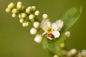 Ladybird on a Bird cherry flower, vivid green background