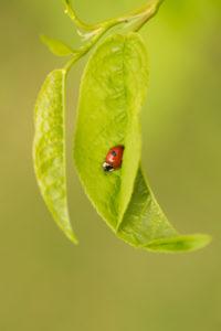 Ladybird sits on a Bird Cherry leaf, vivd green background