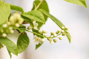 Close-up of Bird Cherry flower buds