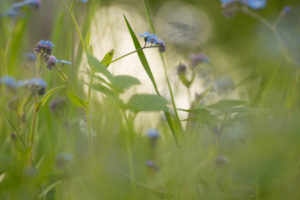 Forget-me-not flowers on a green meadow