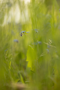 Forget-me-not flowers on a green meadow, vertical