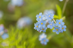 Close-up of Forget-me-not flower on sunlight, vivid green background