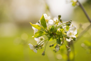 Close-up of Cherry tree twig with flowers on a vivid green background