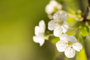 Close-up of Cherry flowers on a vivid green background