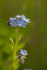Close-up of Forget-me-not flower on sunlight, green background, vertical