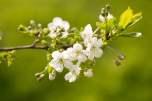 Cherry Tree Branch with flowers and buds on a vivid green background