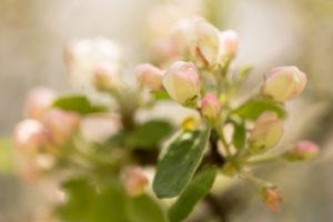 Close-up of apple tree flower bud