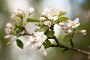Apple Tree branch with with white flowers in close-up