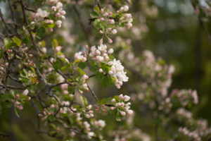 Apple Tree branch with with white flowers