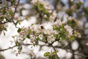 Apple Tree branches with flowers with honeybee in close-up