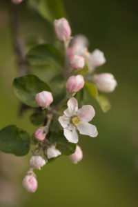 Pink Apple Tree flowers in close-up