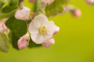 Close-up of Apple Tree flower on a spring green background