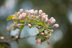 Apple Tree branch with with pink flower buds in close-up