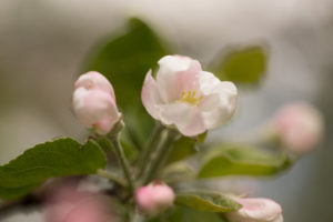 Pink Apple Tree flower in close-up