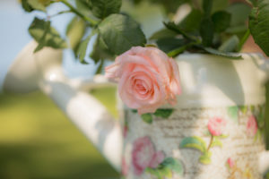 Pink pastel tone rose with rose patterned watering can, outdoors in the garden, semi shady