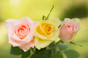 Pastel tone roses on a green background, outdoors in the garden