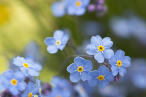 Forget-me-not flowers on a sunny day