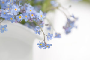 Forget-me-not flowers in a white vase