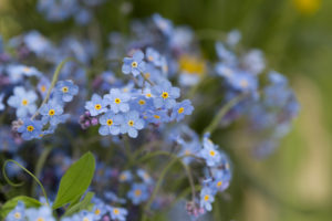 Forget-me-not flowers on a spring day