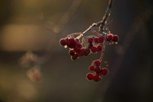 Close-up of frozen rowan berries in sunlight backlit, dark blur background