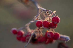Frozen rowan berries in sunlight, blur background
