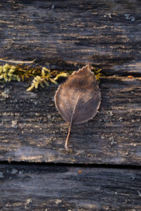 Closeup of frozen leaf in sunlight, mossed wood background