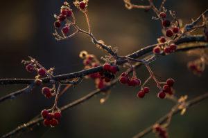 Frozen rowan berries in sunlight backlit, dark blur background