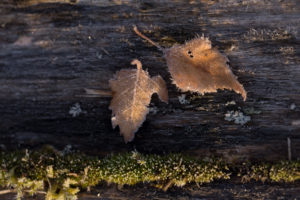 Closeup of frozen leaves in sunlight, mossed tree background