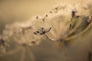 Closeup of hoarfrost crystalline on dry plant, blurred background