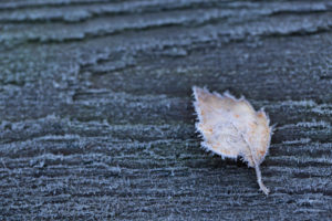 Closeup of frozen birch leaf on a grey wooden background