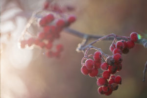Frozen rowan red berries in sunlight backlit, blurred background