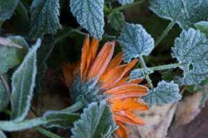 Frozen orange marigold flower with green leaves