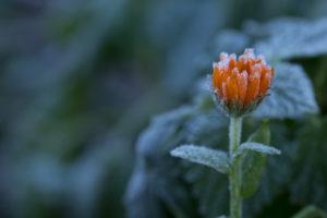 Frozen marigold flower on a natural green background