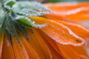 Frozen flower petals, orange marigold