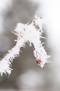 Close up of frozen Rowan twig with berry, covered with thick white hoarfrost, blurred background