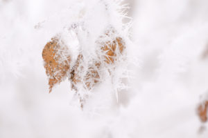 Close up of frozen leaves covered with thick white hoarfrost, blurred background