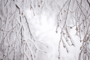 Close up of frozen birch branches, covered with thick white hoarfrost, blurred background