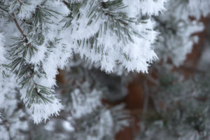 Close-up of pine branches covered with thick white hoarfrost