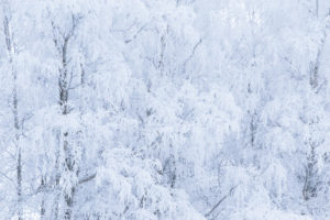 White landscape, frozen trees covered with thick white hoarfrost, winter scenery