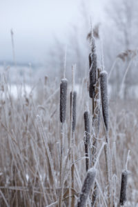 Frozen bulrush plants, covered with hoarfrost, blurred background