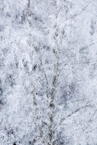 Frozen birch tree covered with thick white hoarfrost