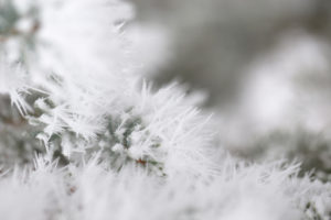Closeup of frozen branch of pine, covered with thick white hoarfrost, blurred background
