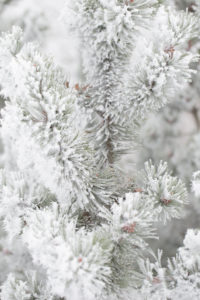 Closeup of frozen pine branches covered with thick white hoarfrost