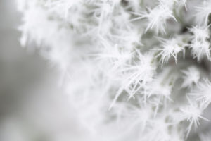 Closeup of frozen pine branch, covered with thick white hoarfrost, blurred background