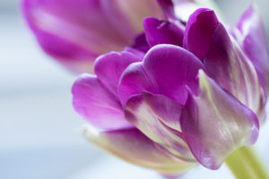 Close-up Of Ultraviolet Tulip.