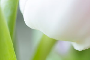 White Tulip Close-up