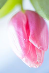 Close-up of Pink Tulip on a light blue background